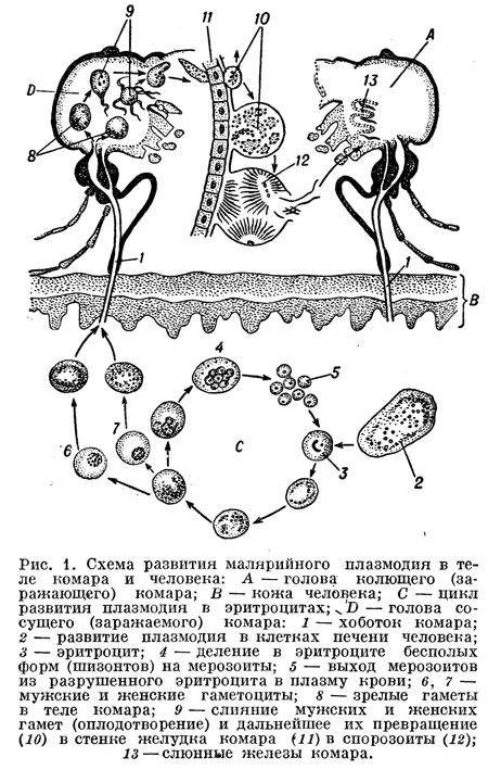 Схема развития малярийного плазмодия в теле комара и человека.