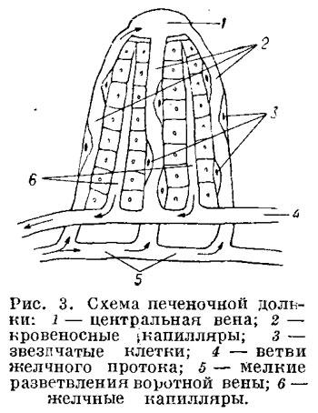 Схема печеночной дольки
