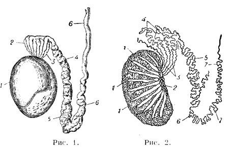 Схема строения яичка и его
